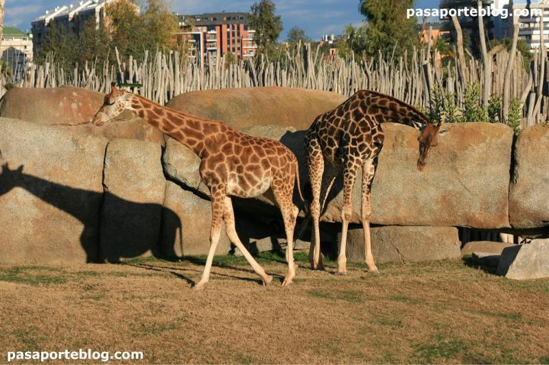 Jirafas en el zoo de Valencia