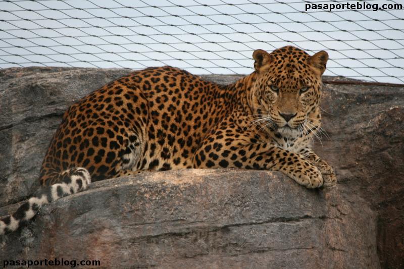 Leopardo descansando en el zoo de Valencia