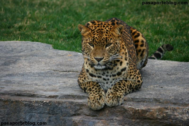 Leopardo en el zoo de Valencia