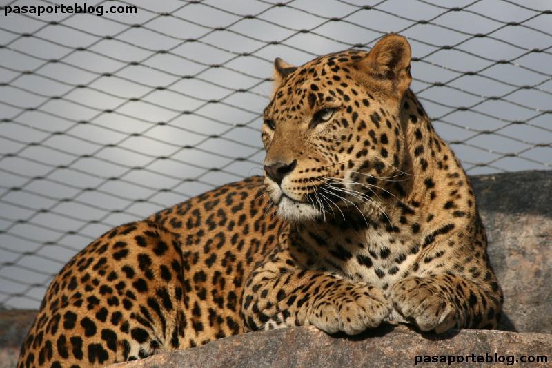 Leopardo del zoo de Valencia en lo alto de su hábitat