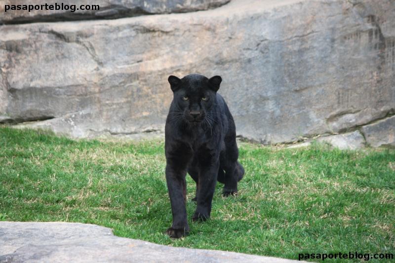 Pantera negra en el zoo de Valencia