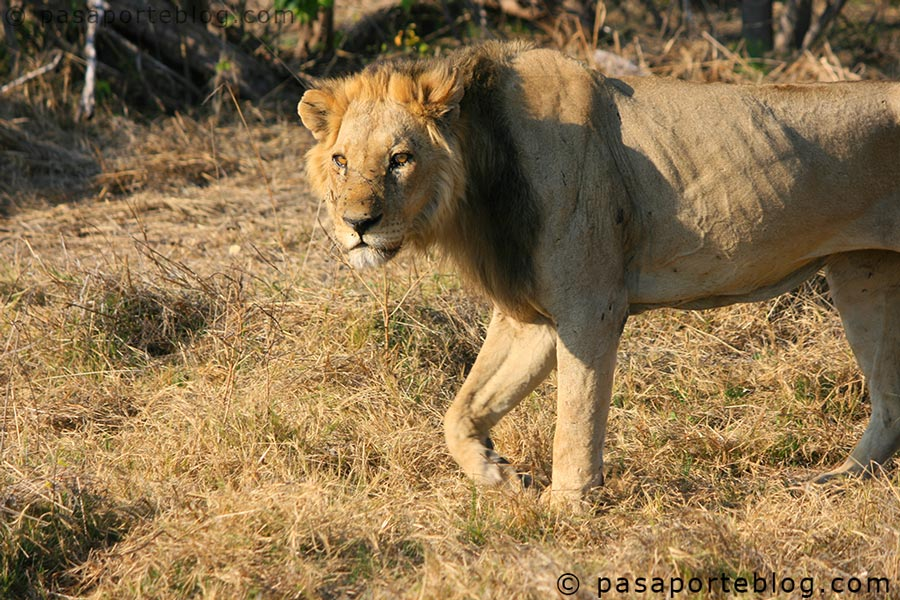 leon-salvaje-en-botswana-africa