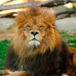 Leones en el zoo de Valencia