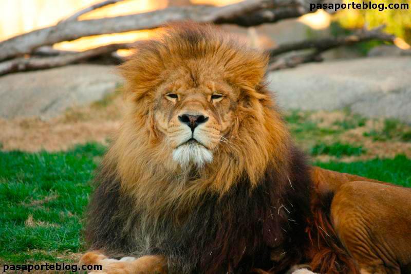 leon-zoo-valencia