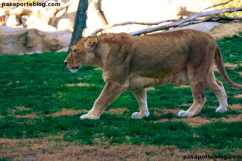 leona-zoo-valencia-biopark