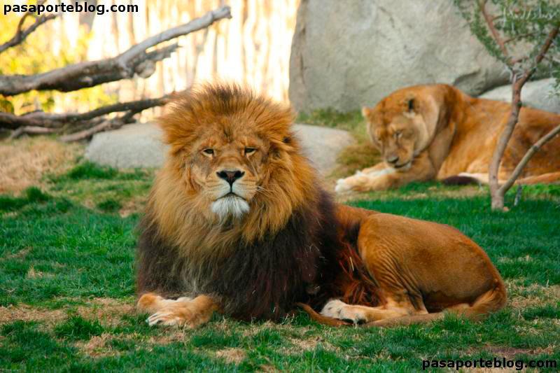 leones en el zoo de valencia biopark