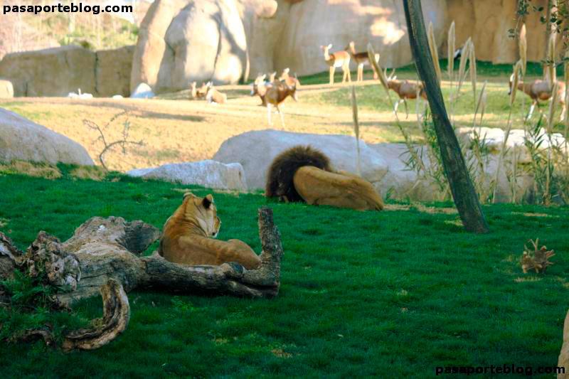 leones-zoo-valencia-inmersion