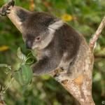 Koala, viaje por Australia