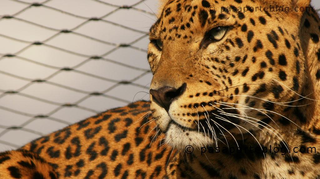Leopardos en el zoo de Valencia
