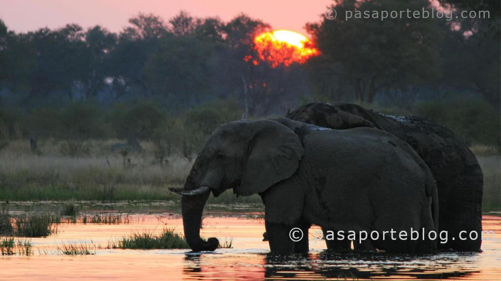 elefantes pueta de sol en moremi delta del okwvango