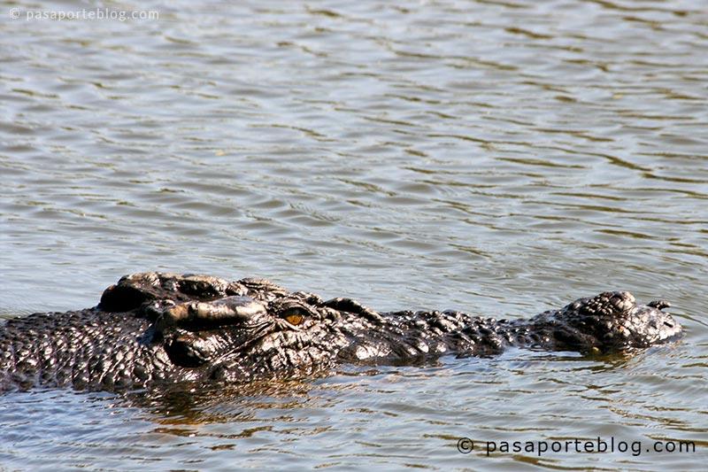 cocodrilos en kakadu australia o caimanes alligators en los everglades de miami Estados Unidos